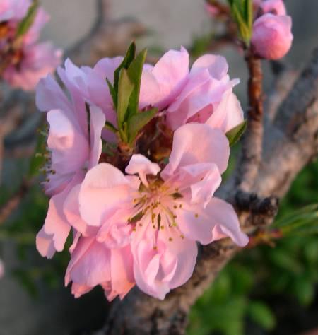 "Peach ""Bonanza"""