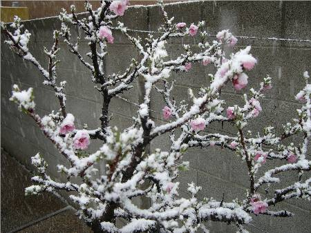 Snow on Peach