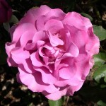 Floribunda 'Angel Face'