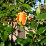 Royal Sunset bud; large-flowered climber