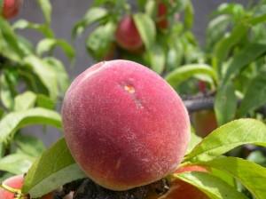 Bird-pecked peach