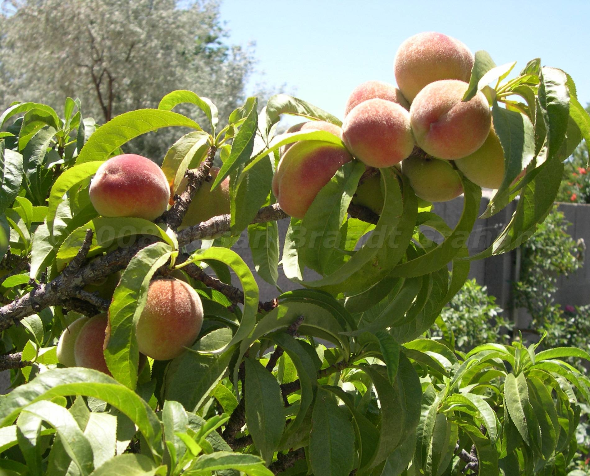 Peach Trees Archives Southwest Desert Gardeningsouthwest
