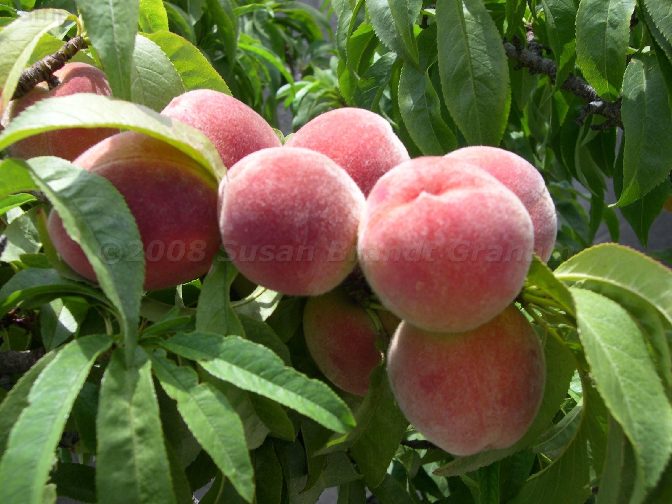 Peach Trees Archives Southwest Desert GardeningSouthwest Desert