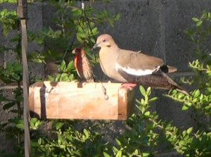 White Wing Dove and Finch at Feeder