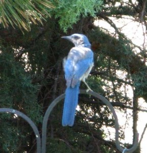 Fledgling Jay - Really Growing!