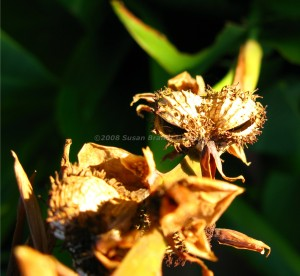 Canna lily seed pods
