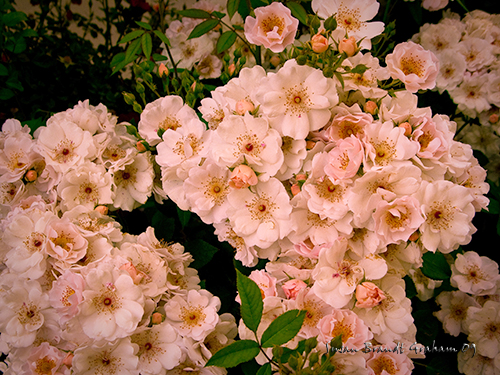 Flower Girl, a shrub rose  Susan Brandt Graham, photographer
