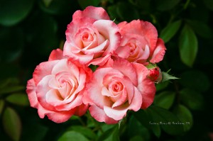 rose photography: Spray of hybrid tea rose, 'Gemini'