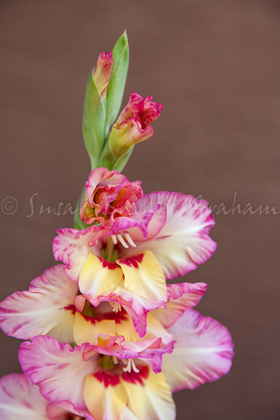 gladiolus for indepemdemce day