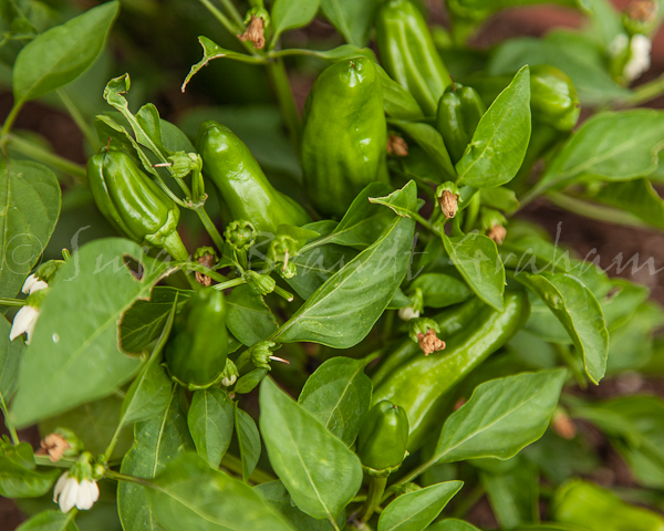 'sweet heat hybrid' jalapeno peppers
