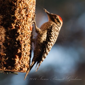 male ladder backed woodpecker