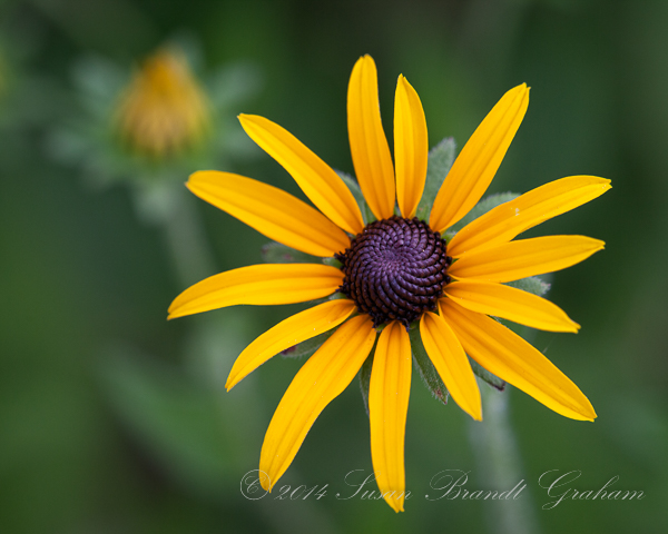summer flowers brown-eyed Susan