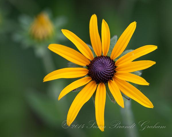 summer flowers brown-eyed Susan
