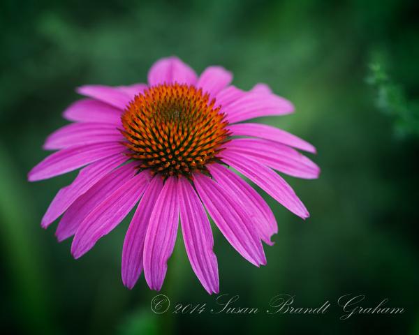 summer flowers echinacea