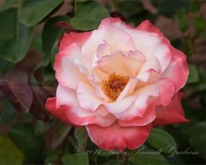 roses Gemini