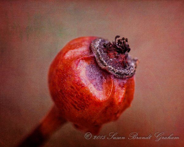 rose hip winter beauty
