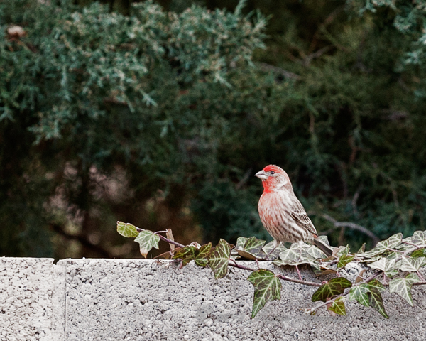 bird house finch
