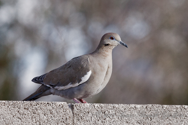 bird white winged dove