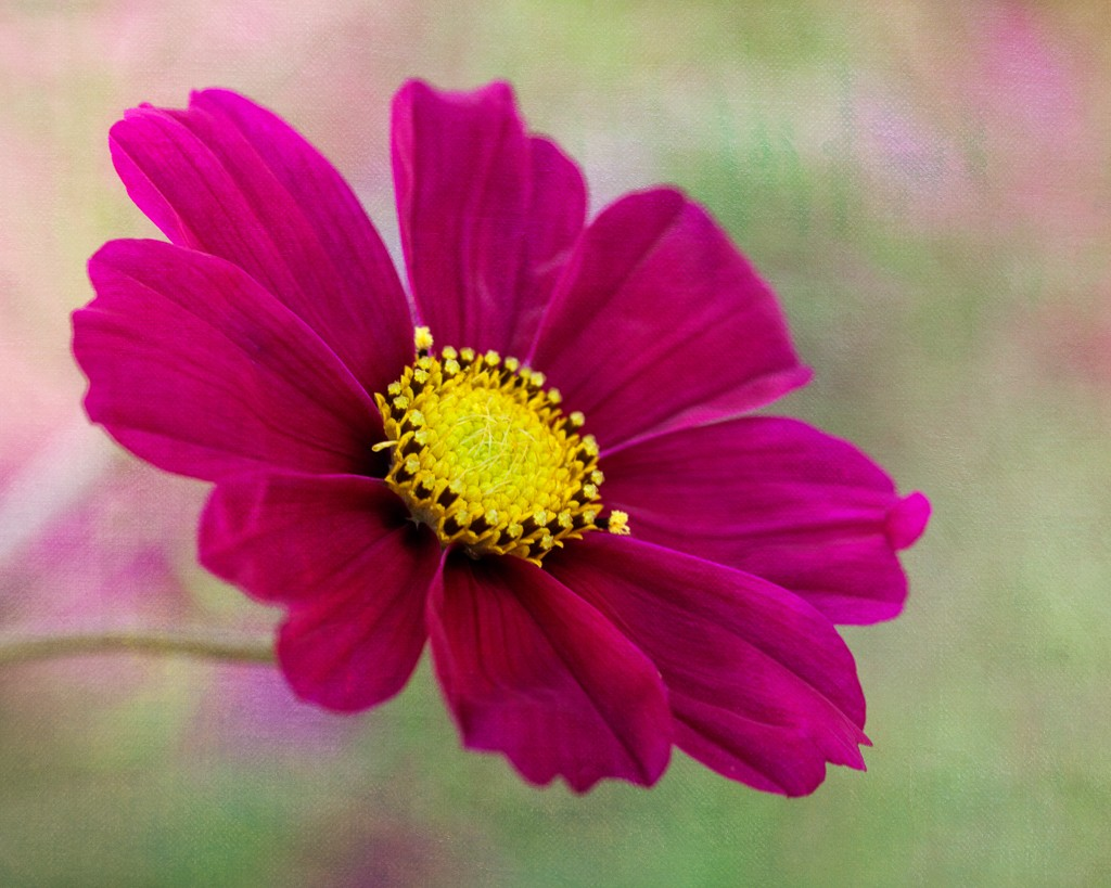 summer flower cosmos