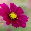 cosmos summer flower