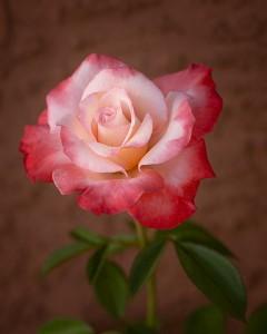 rose Gemini