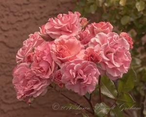 Rose Dream Weaver