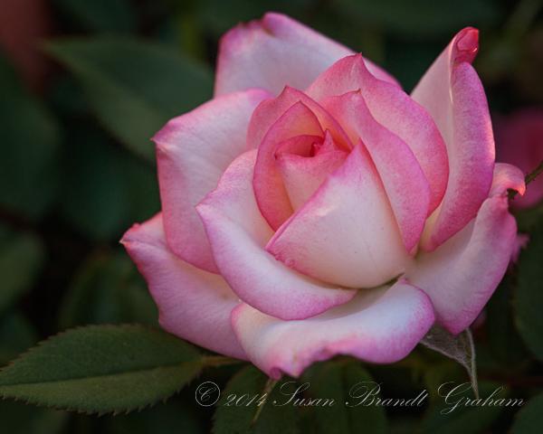 miniature rose Child's Play