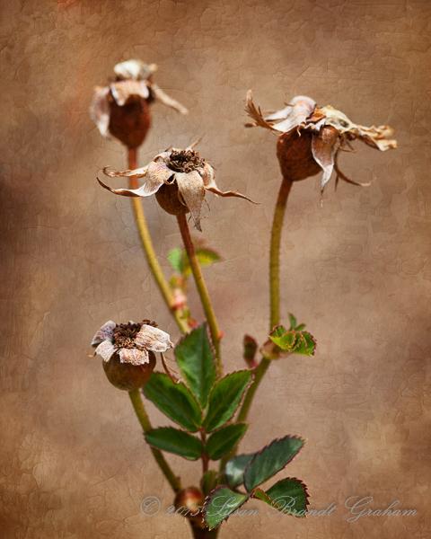 prune roses rose hips