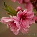 dwarf peach 'bonanza'