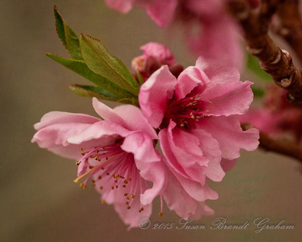 dwarf peach bonanza