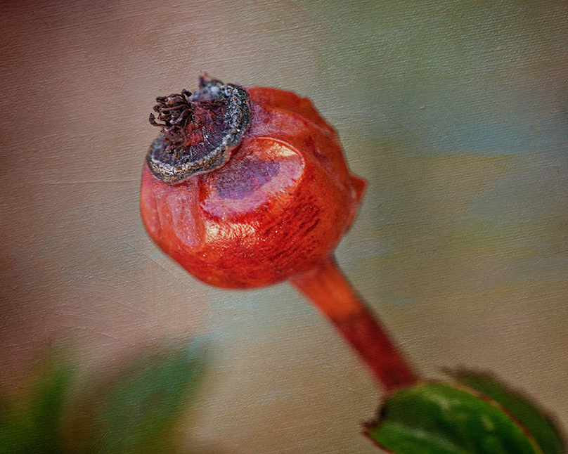 To See Beauty - Rose Hip