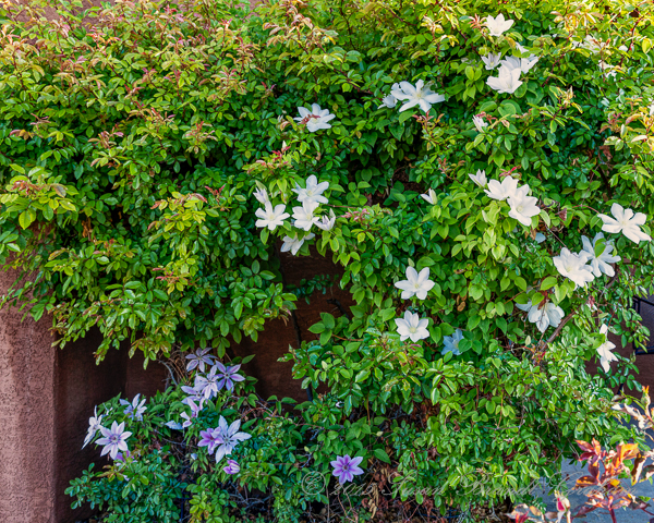 clematis and mermaid