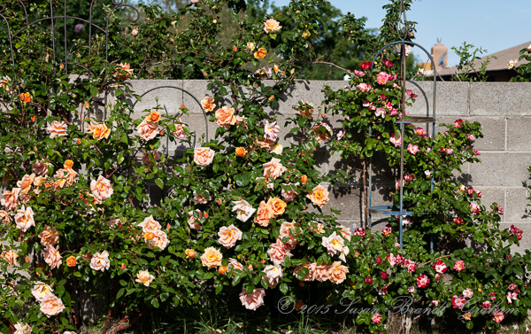 morning in the roses