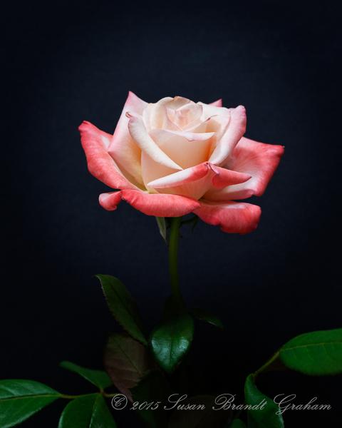 Gemini rose