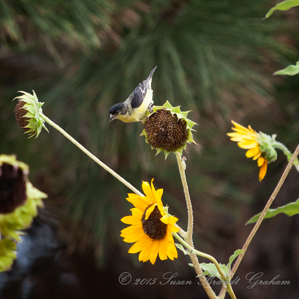 sunflowers and goldfinch