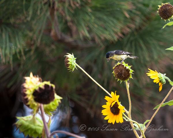 Sunflowers and Birds