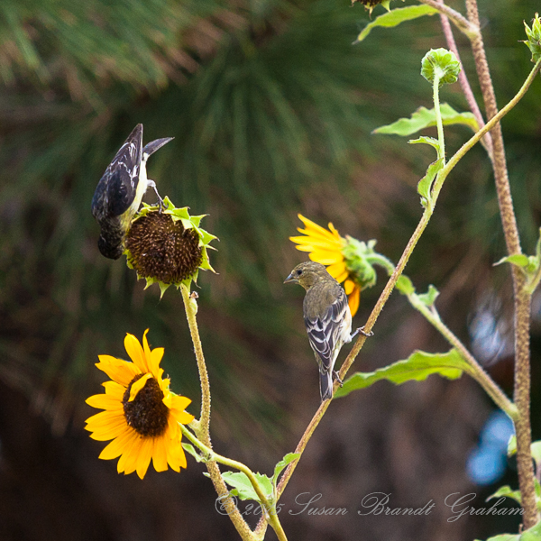 sunflowers and birds
