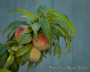 dward peach bonanza 2016