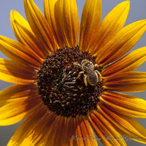 Sunflower and Big Bee