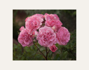 ARS photo competitions, rose sprays
