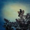 observer crow