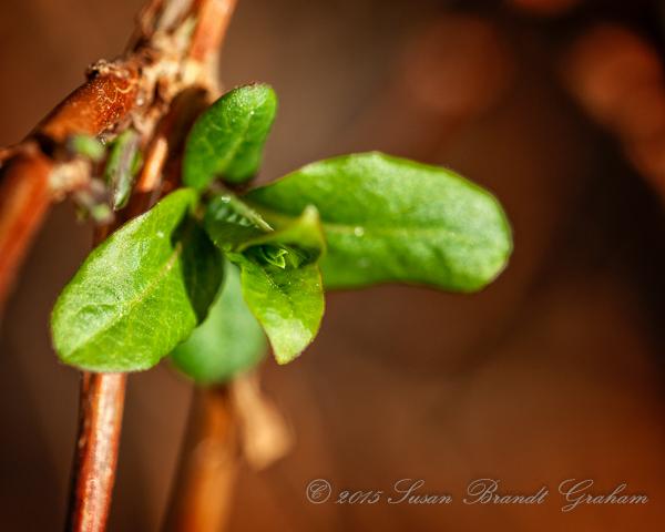 honeysuckle early spring