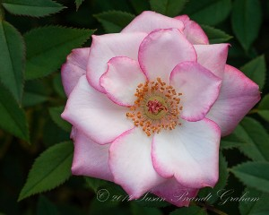 rose photography
