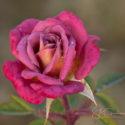spring 2017 roses
