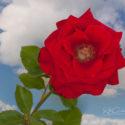 Fully Open Hybrid Tea Rose, 'Veterans' Honor'